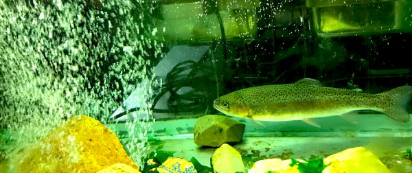 Forelle Aquarium Lebend frisch AKZENT Hotel Brueggen er Klimp Burgwall Concierge Gerry Kritik